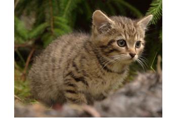 Saving the Scottish Wildcat- the rarest cat in the world