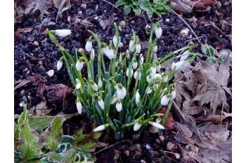 Snowdrops in Colesbourne