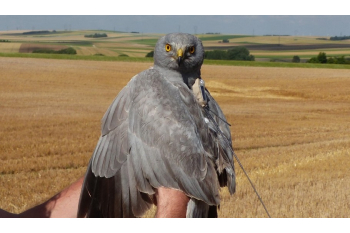 Bringing Hen Harriers back to Southern England