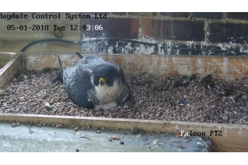 Take 30 seconds to help support the Peregrines of Leamington Spa